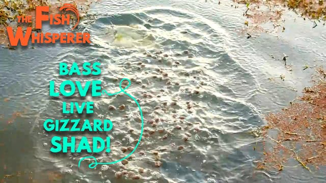 Bass Love Live Gizzard Shad!