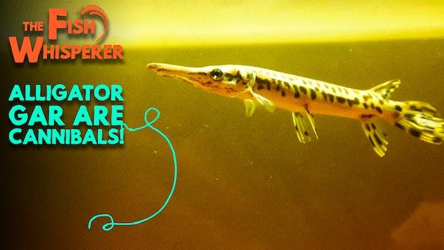 Alligator Gar are Cannibals!