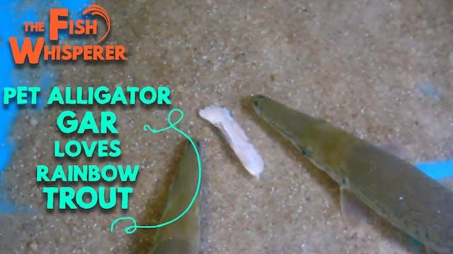 My Pet Alligator Gar Love Rainbow Trout!