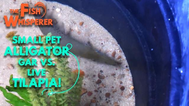 Small Pet Alligator Gar Vs. Live Tilapia!