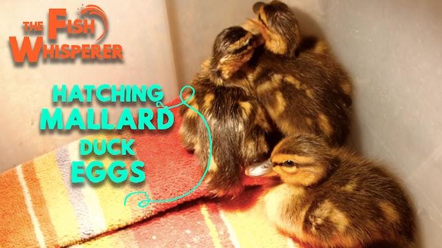 Hatching Mallard Duck Eggs!