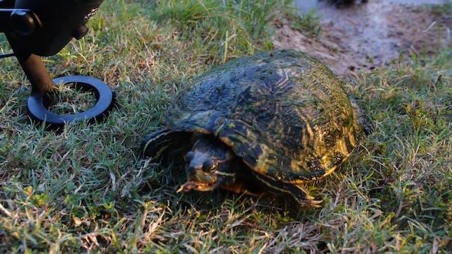 Turtle ASMR