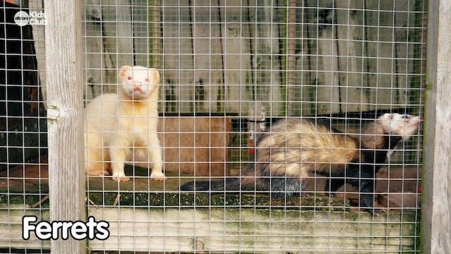 God's Amazing Animals | Ferrets