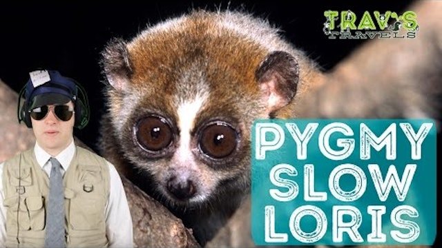 Pygmy Slow Loris - Animal Facts