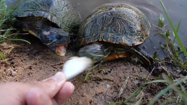 Turtles Are Ferocious!
