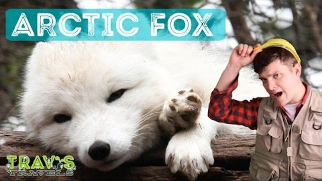 Animal Facts- Arctic Fox