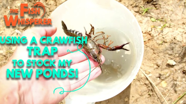 Using a Crawfish Trap to Stock My New Ponds!