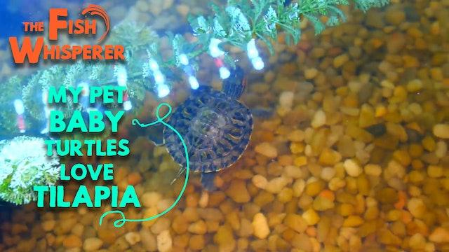 My Pet Baby Turtles Love Tilapia!