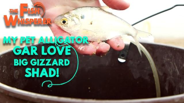 My Pet Alligator Gar Love Big Gizzard Shad!