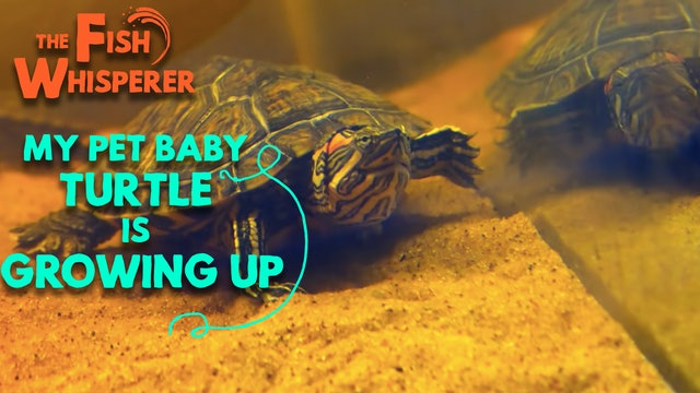 My Pet Baby Turtle is Growing Up!