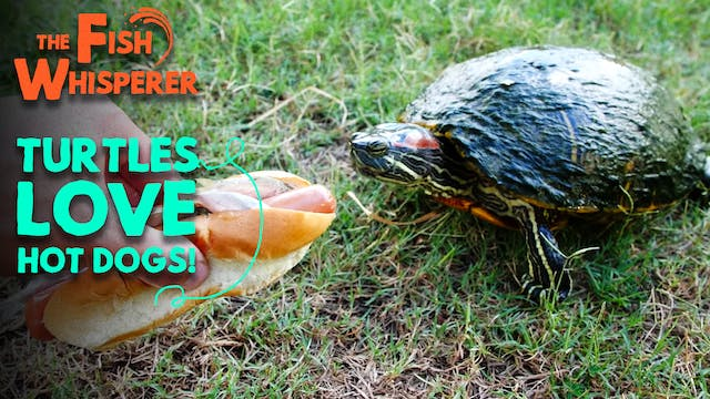 Turtles Love Hot Dogs!