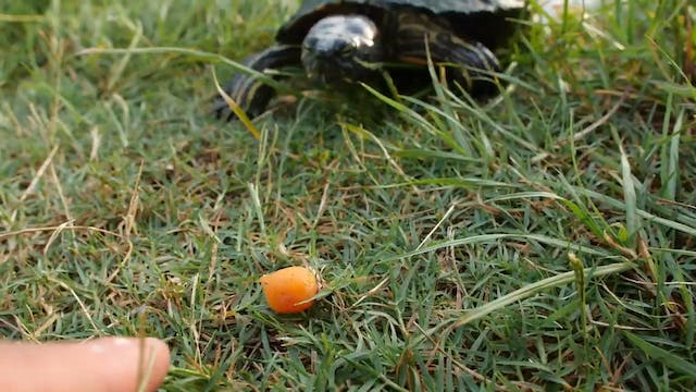 Turtles Love Carrots!
