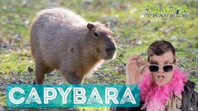 Capybara - Animal Facts
