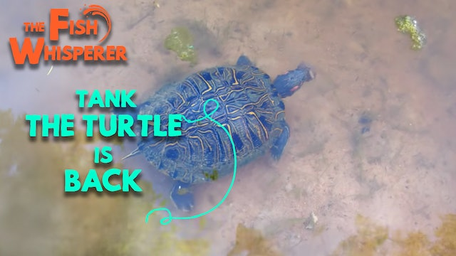 Tank The Turtle Is Back!