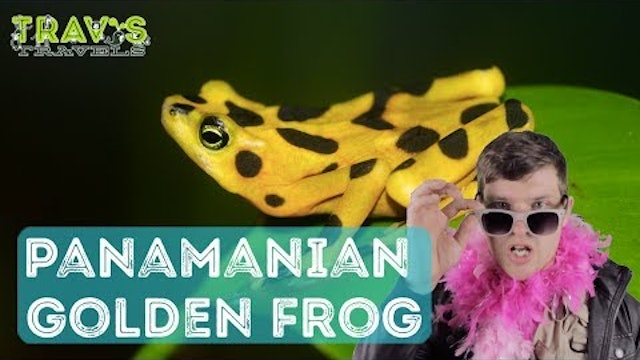Panamanian Golden Frog - Animal Facts