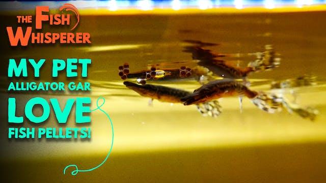 My Pet Alligator Gar Love Fish Pellets!