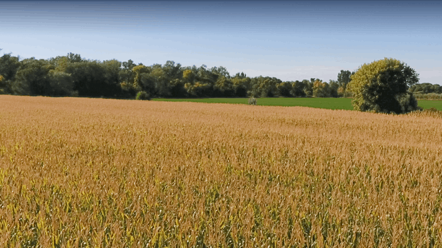 ZoneOutTV - Golden Cornfields