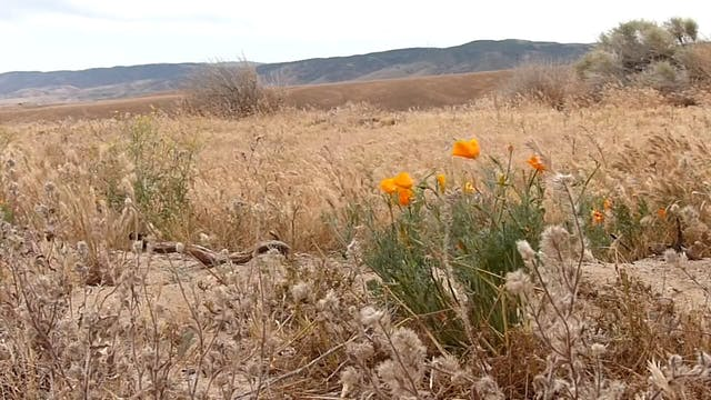 ZoneOutTV - Desert Poppies in Antelop...